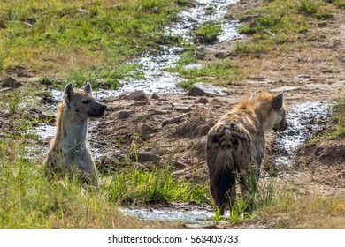 Laughing Hyenas at a small creek on the savannah