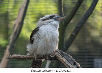 Laughing jackass sitting on a branch - portait