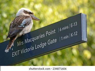 Laughing kookaburra bird in Sydney, New South Wales, Australia