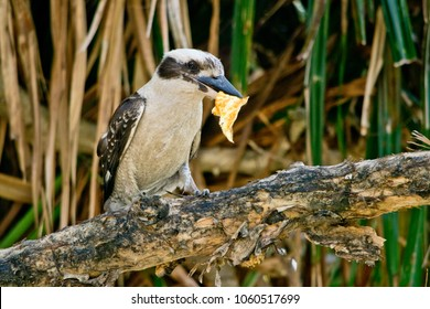 Laughing Kookaburra with fish in the Australian wild