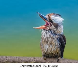 Laughing kookaburra (Jackass), a bird in the kingfisher subfamily, native to Australia and New Zealand