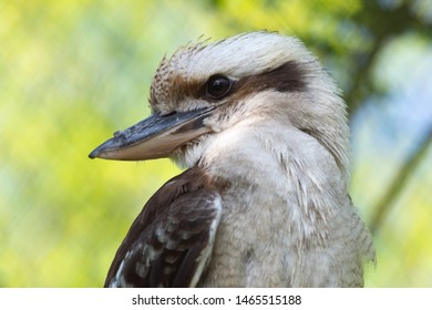 Laughing Kookaburra or Lachender Hans