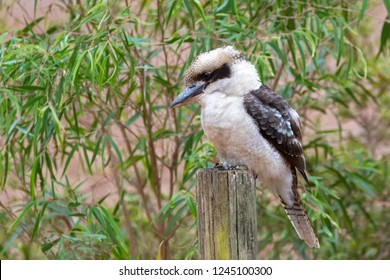 Laughing Kookaburra, largest kingfisher bird in brown perching on wooden pole in Western Australia (Dacelo novaeguineae)