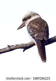 Laughing Kookaburra looks down from its perch in search of prey
