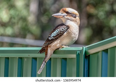 Laughing Kookaburra on a fence - Taken in Bensville on the Central Coast of NSW, Australia.