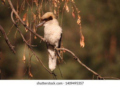 A Laughing Kookaburra perched in a tree