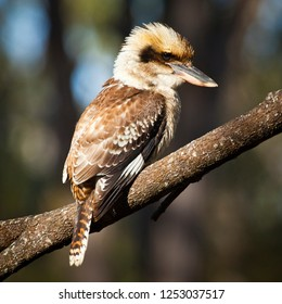 Laughing Kookaburra sitting on a wattle branch in Crows Nest National Park Queensland Australia, National Symbol.