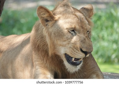Laughing lioness in natural habitat