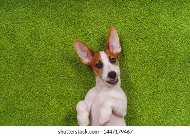 Laughing puppy lying on a green carpet. Happy concept.