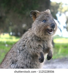 Laughing quokka - a little marsupial living on Rottnest Island near Perth, Western Australia