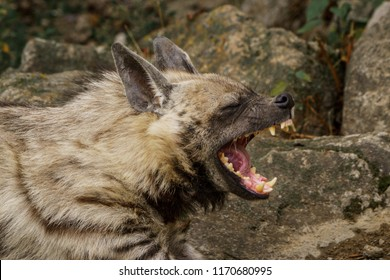 Laughing striped hyena closeup portrait