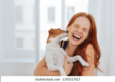Laughing young woman being licked by a small terrier dog she is holding in her arms, high key and copyspace