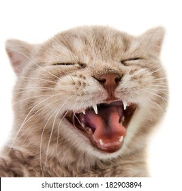 the laughter little  kitten, on white  background , isolated, closeup  muzzle