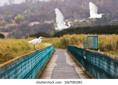 Launceston, Tasmania. The Tamar Islands, Herons taking flight in the rain. 25th March, 2018