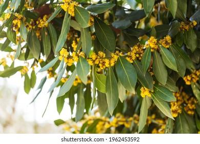 Laurel blossom close-up. Laurel trees in Turkey. Laurel flowers in spring
