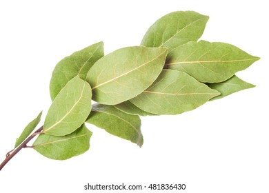 Laurel branch with dry leaves isolated on a white background