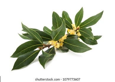 Laurel branch with flowers isolated on white
