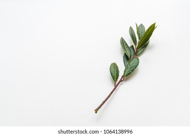 Laurel branch with green foliage on white background, natural light and smooth shadows