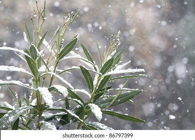laurel branches covered by snow