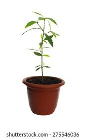 laurel plant in pot isolated on white backrgound