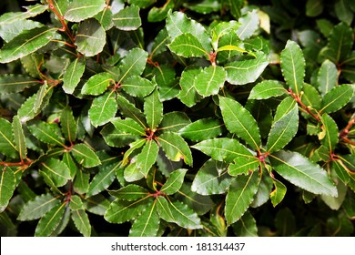 laurel tree with bay leaves