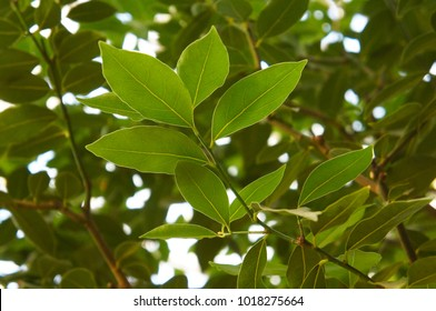 Laurus nobilis or bay laurel or sweet bay or bay green foliage