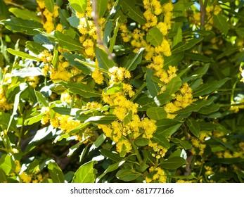 Laurus nobilis - Laurel florece en primavera en España