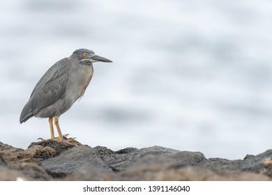 Lava Heron (Butorides sundevalli) - On The Rocks