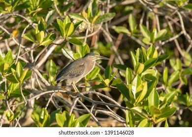 Lava Heron (Butorides sundevalli) - Sitting in the Mangrove