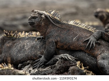 Lava Lizard catching a ride on Marine Iguana on the island of Fernandina in the Galapagos Islands