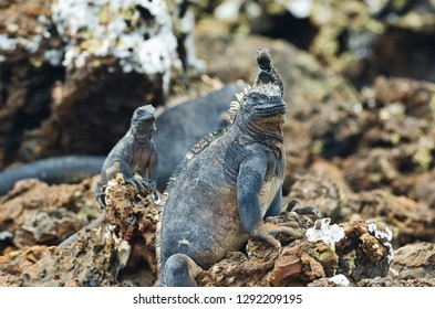 A lava lizard sits on top of the head of a marine Iguana in the Galapagos