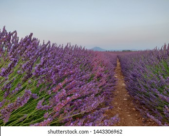 Lavanda fields in France Provence. Purpule flovers bloom during sunset with bees and insects in front of mountains