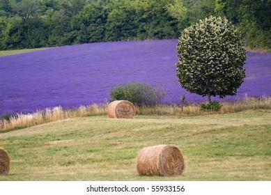 lavander field,Provance France