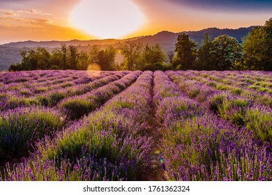 Lavander fields in Sale San Giovanni, village in Piedmont, called Little Provence for the blooming
