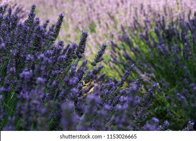 Lavander purple flowers