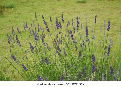 Lavandin Grosso is a flower that is the raw material for aroma oils.