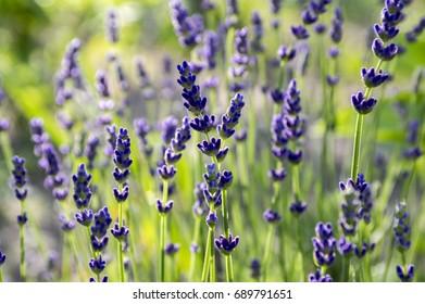 Lavandula angustifolia bunch of flowers in bloom