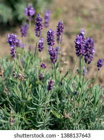 Lavandula angustifolia flowers in the garden