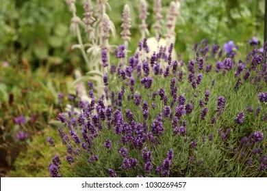 Lavandula angustifolia,  Lavender