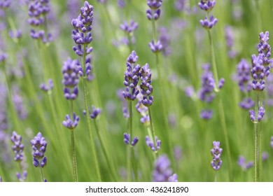 Lavandula angustifolia (lavender most commonly True Lavender or English lavender, though not native to England; also garden lavender, common lavender, narrow-leaved lavender)