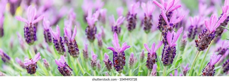 Lavandula stoechas  flowering plant ( French lavender, Spanish lavender or topped lavender ) in garden, banner