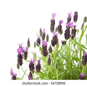 Lavandula Stoechas (French lavender; Spanish Lavender; Topped Lavender), isolated on white