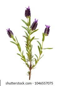 Lavandula stoechas, the Spanish lavender isolated on white