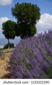 Lavanta lavander lavender