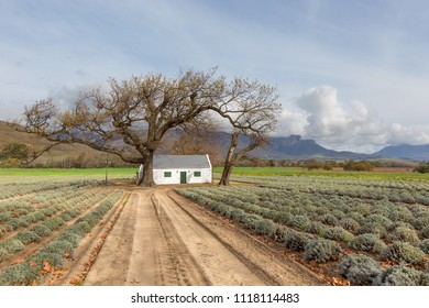 lavendar field harvested with a large old tree framing a traditional farm cottage