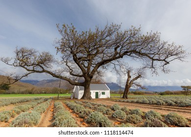 lavendar field with a large old tree framing a traditional white washed farm cottage