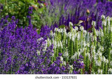 lavendar and salvia