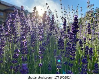 Lavendel in den Strahlen der heruntergehenden Sonne