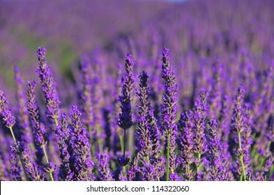 lavender 72