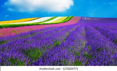 lavender and another flower field in hokkaido , Japan - nature background